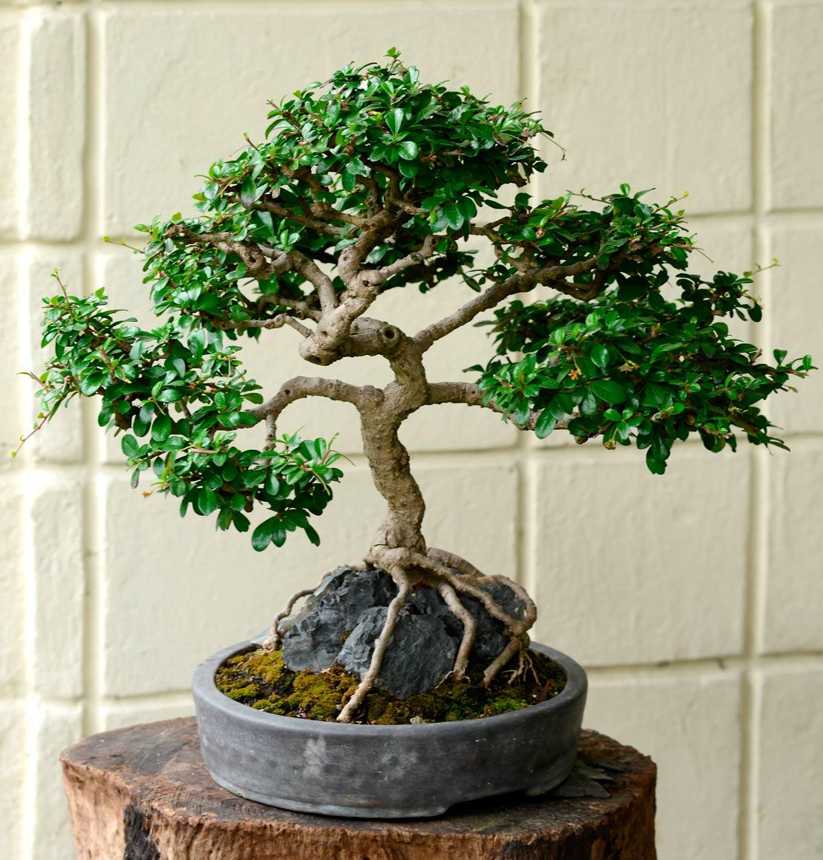 Bons is el arte de la paciencia ecolog a la revista el universo - Cultivo del bonsai ...
