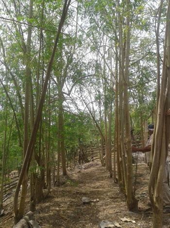 Bosques de Moringa oleifera en la provincia de Manabí.