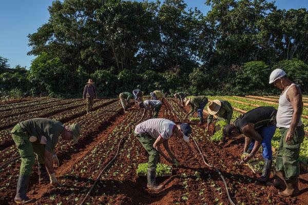 Campesinos en un sembradío de lechugas en Alamar, en las afueras de La Habana.