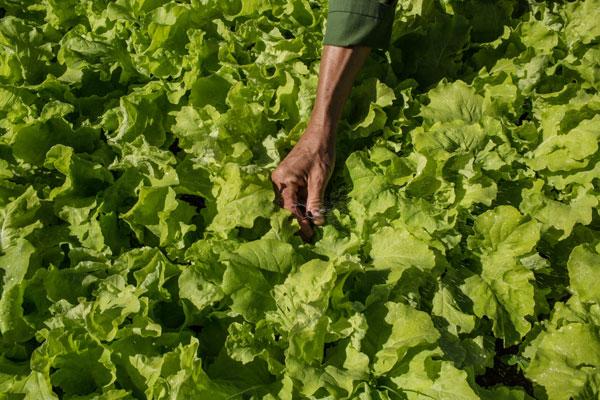 Un trabajador cuida la lechuga en una granja orgánica en Alamar, cerca de la cap