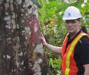 Los troncos fueron obtenidos de un bosque entre Quevedo y Santo Domingo