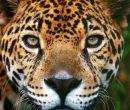 El yaguareté  o jaguar es el felino de mayor tamaño del continente americano. Pu