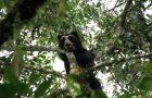 El oso de anteojos trepa a los árboles a buscar su alimento.