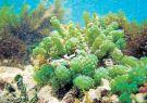 Alga uva (Caulerpa racemosa), especie invasora introducida en las islas Galápago