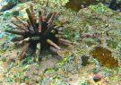 Erizo lapicero, especie 'cimiento' de las Galápagos.