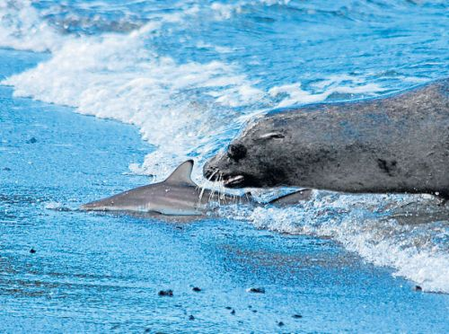 León marino dando cacería a un tiburón en las islas Galápagos.
