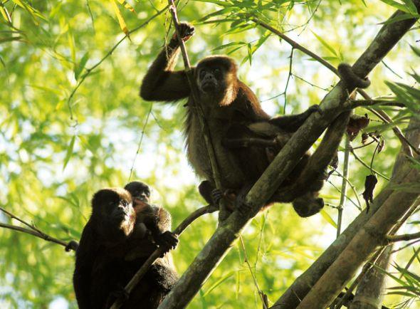 Monos aulladores en Pacoche.