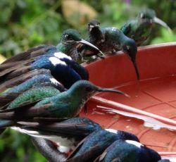La reserva y el lodge cuentan con varios bebederos de colibríes.