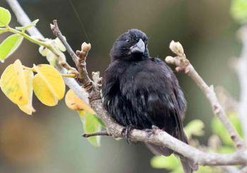 El pinzón de la isla Daphne Mayor, en Galápagos, es estudiado por científicos.