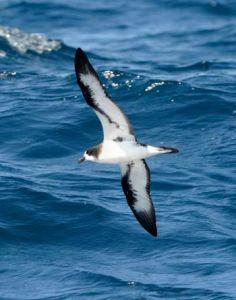 Petrel de Galápagos, ave endémica de las islas.