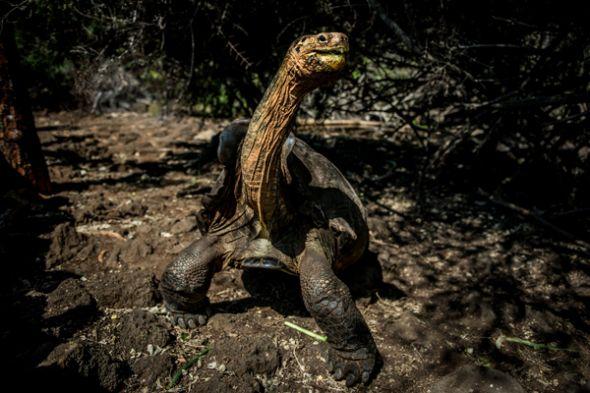 La especie a la que pertenece Diego estuvo cerca de extinguirse.