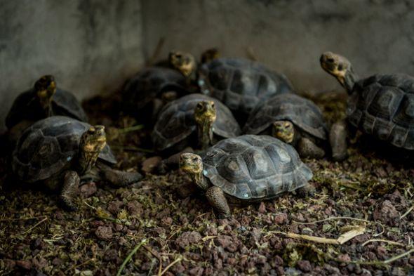 Las tortuguitas serán finalmente liberadas en la isla de Española.