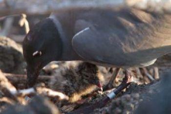 Una gaviota de lava con su polluelo en Galápagos.